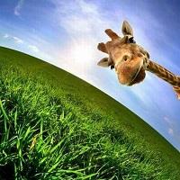 Giraffen-Rätsel
